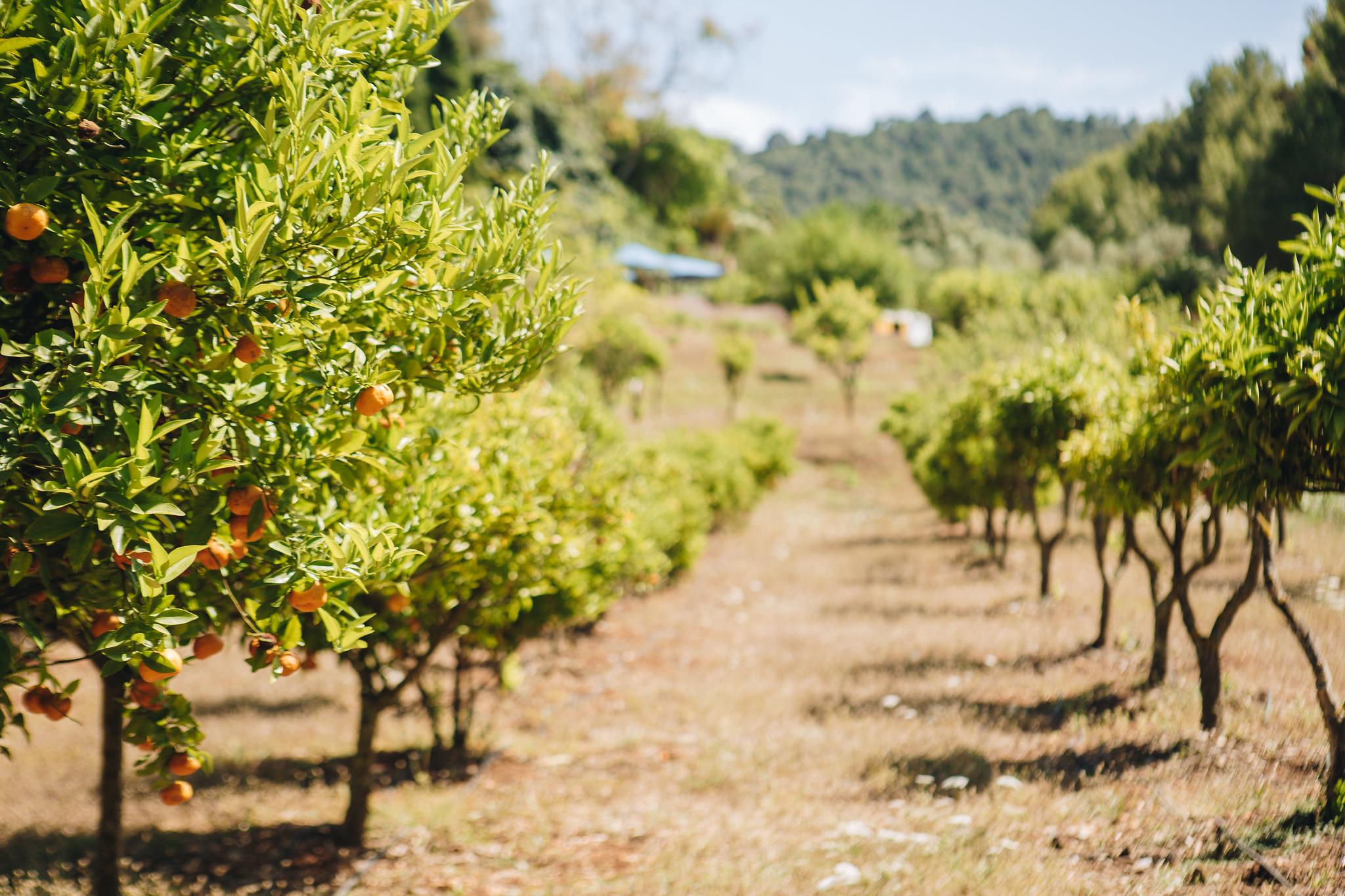https://www.white-ibiza.com/wp-content/uploads/2020/05/white-ibiza-villas-can-amelida-exterior-citrus-grove.jpg